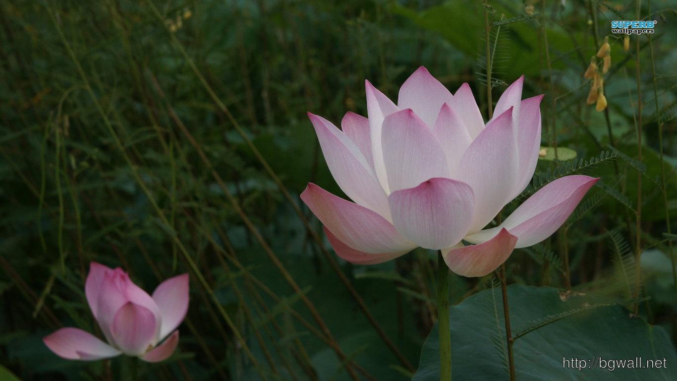 Pink Lotus Wallpaper Full Size