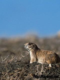 Prairie Dog Full Size