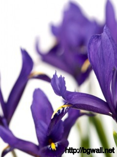 Purple Iris Wallpaper 3965 Full Size