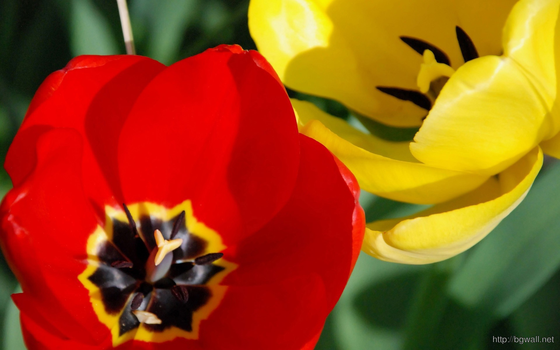 Red And Yellow Tulip Wallpaper 9217 Full Size