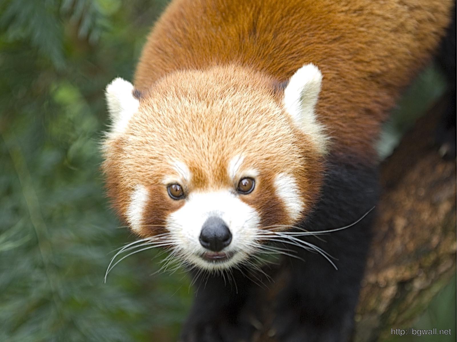 Red Panda Full Size
