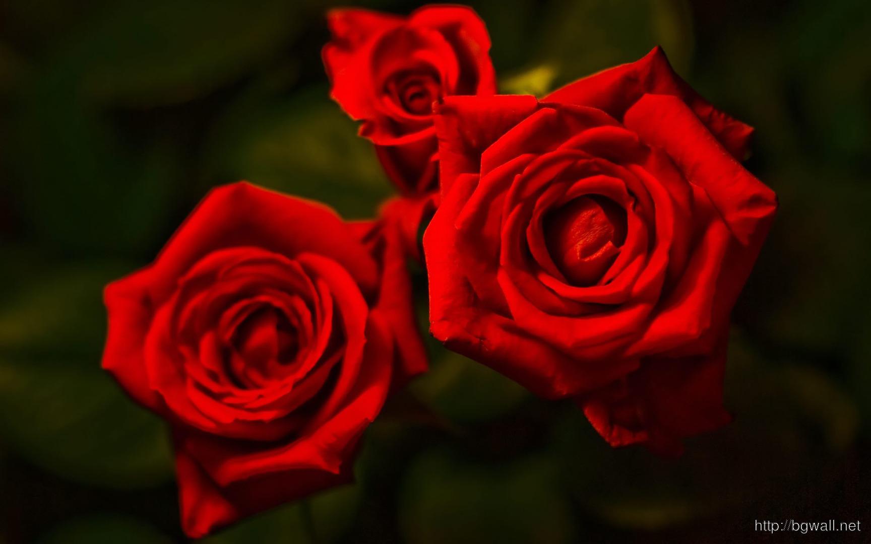 Red Roses Wallpaper 889 Full Size