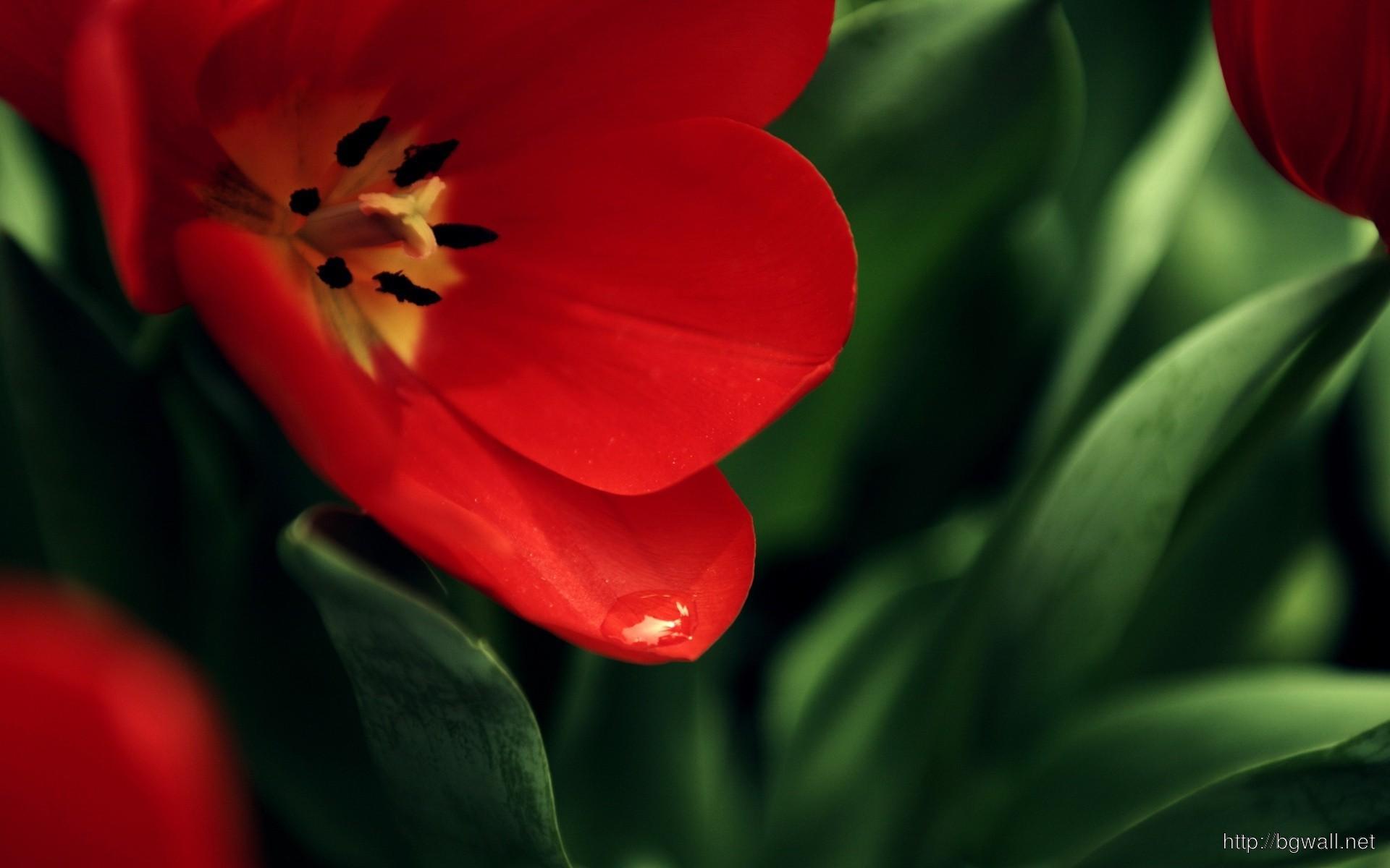 Red Tulip Wallpaper 9248 Full Size