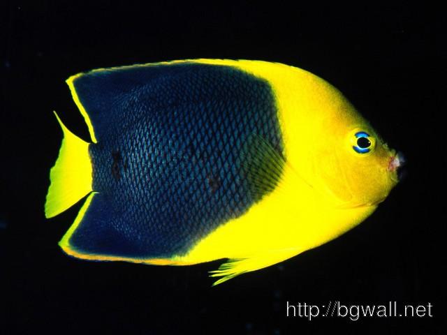 Rock Beauty Angelfish Indo Full Size