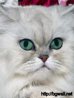 Silver Shaded Persian Full Size