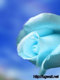 Sky Blue Rose Wallpaper Full Size