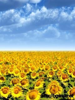Sunflower Field Wallpaper 2333 Full Size