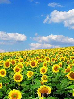 Sunflower Field Wallpaper Full Size