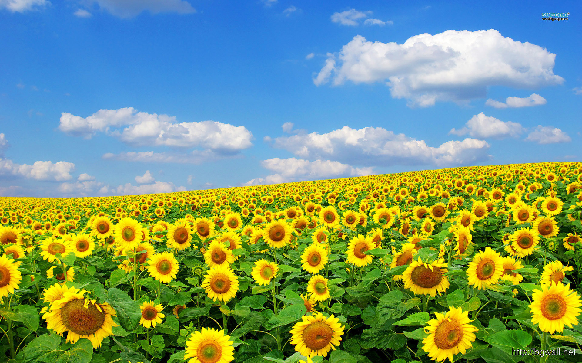 Sunflower Field Wallpaper Full Size