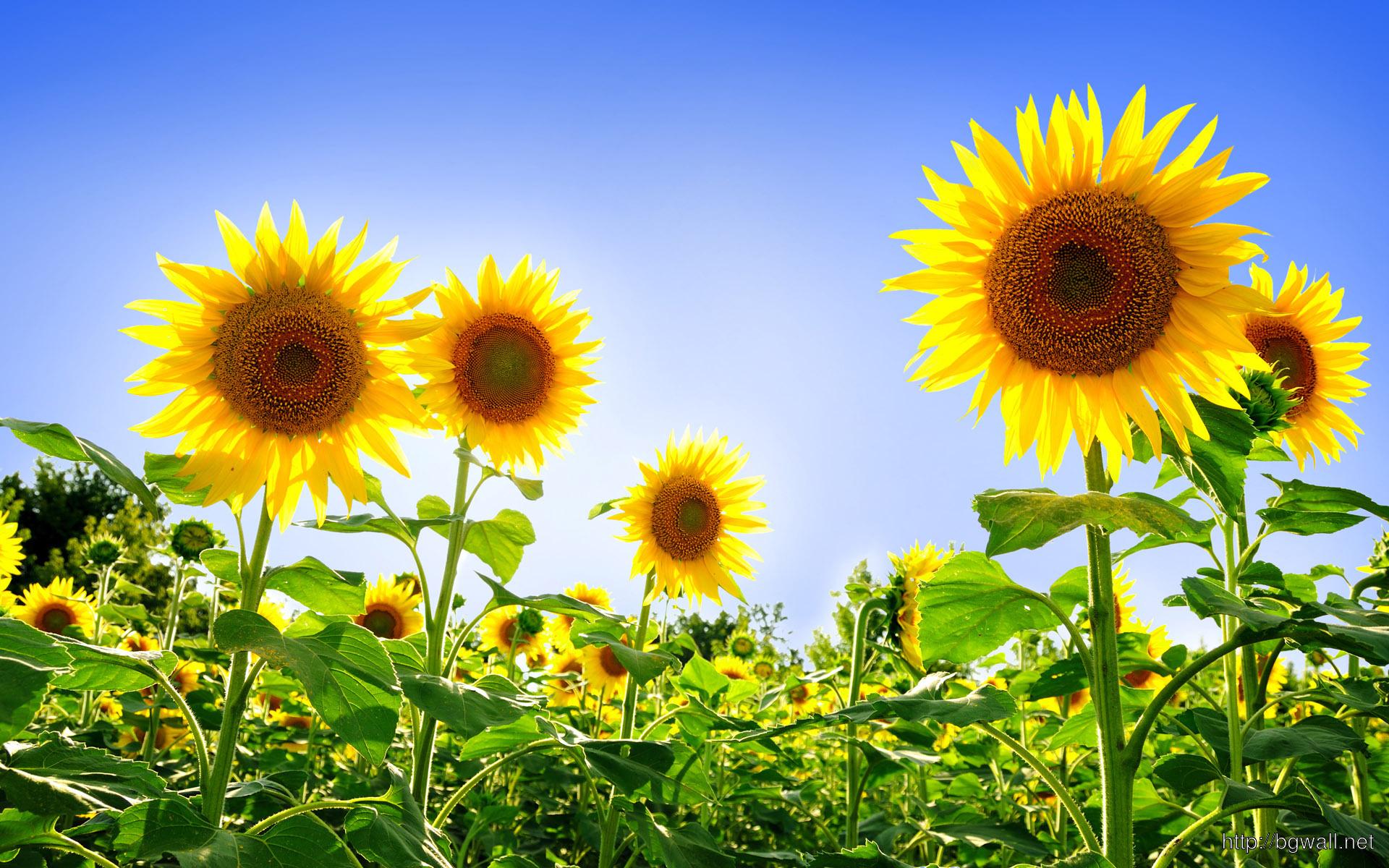 Sunflowers Wallpaper 2336 Full Size