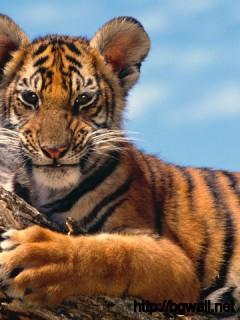 Tiger Cub Full Size