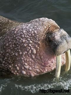 Walrus Image Full Size