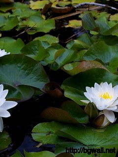Water Lilies Wallpaper Full Size