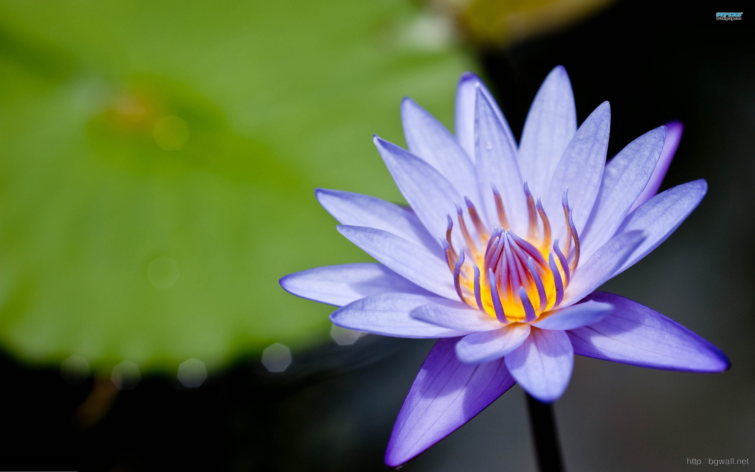 Water Lily Wallpaper Full Size