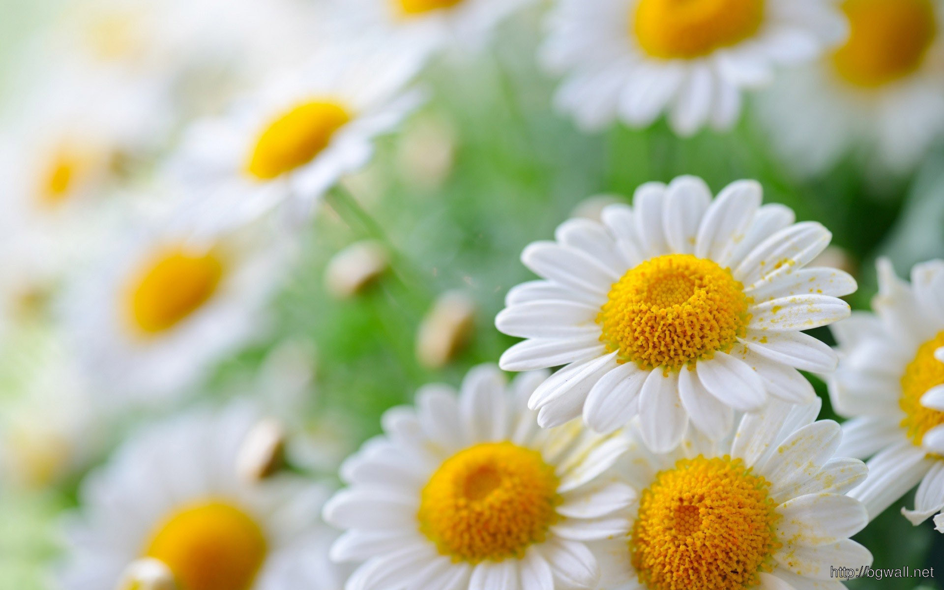 White Daisies Wallpaper 13285 Full Size