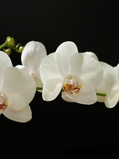 White Orchid Wallpaper Full Size