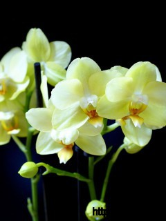 Yellow Orchids Wallpaper Full Size