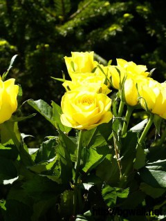 Yellow Roses Wallpaper Full Size