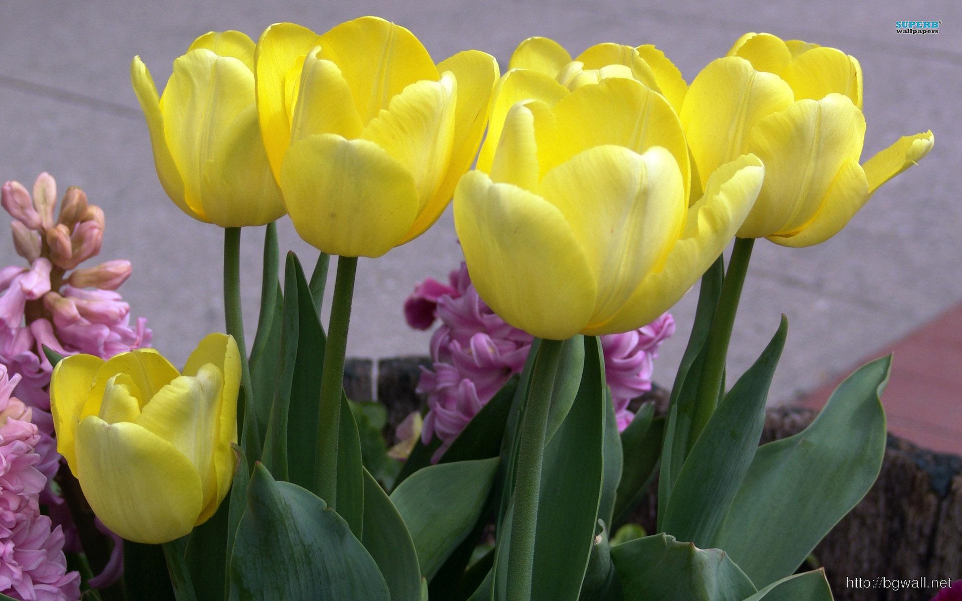 Yellow Tulips Wallpaper Full Size