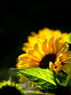 Black-Beckground-Sunflowers-Wallpaper