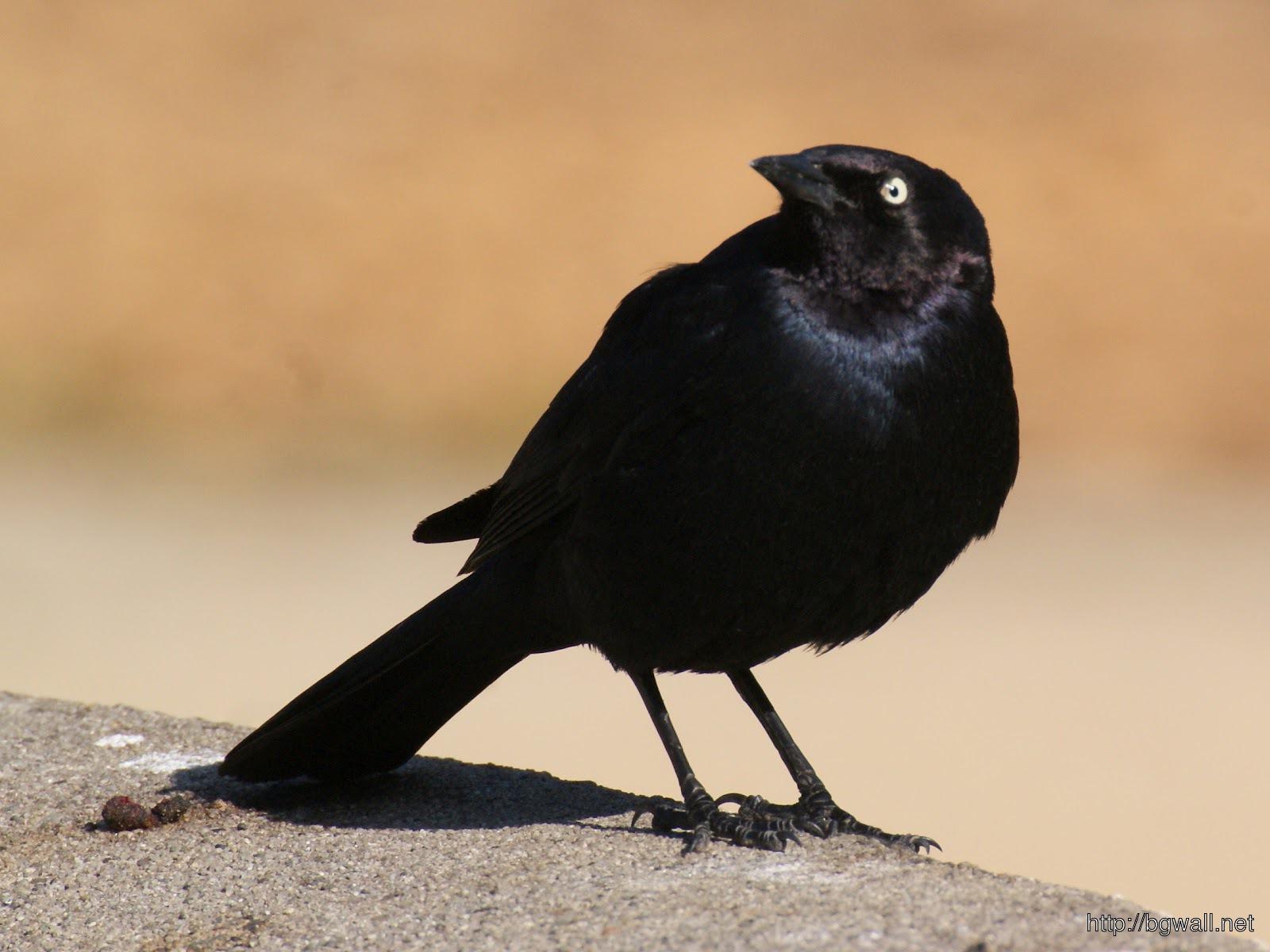 Blackbird-Wallpaper