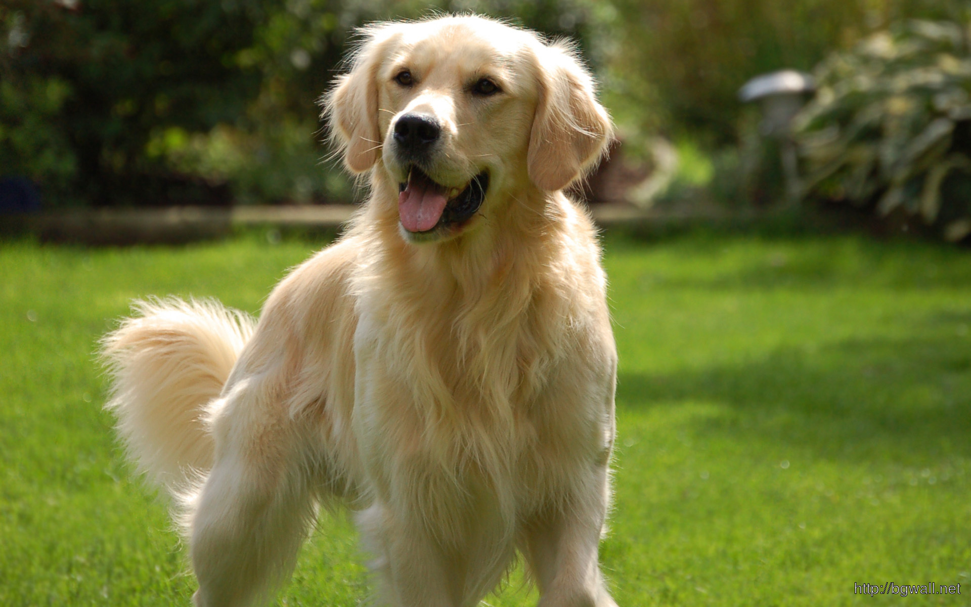 Golden-Retriever-Beautiful-Wallpaper
