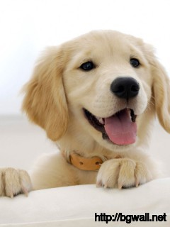 Golden-Retriever-Dog-Cute-Wallpaper