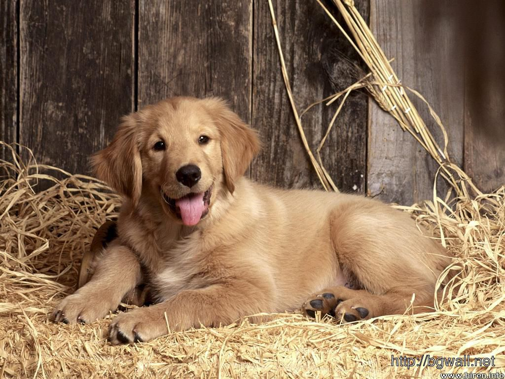 Golden-Retriever-Free-Downloads-Wallpaper