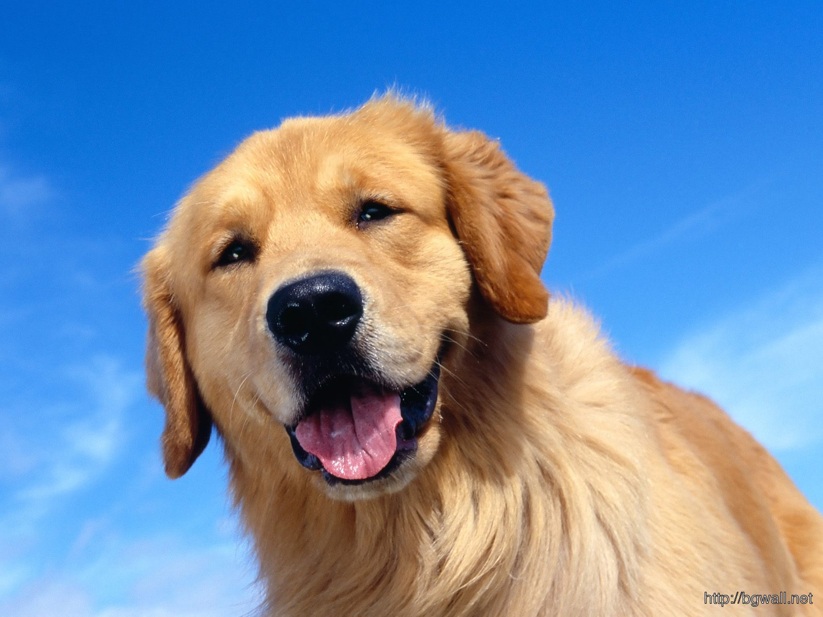 Photography-Golden-Retriever-Wallpaper