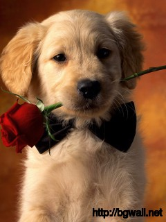 Puppies-Dog-Golden-Retriever--Wallpaper