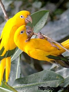Yellow-Birds-Wallpaper