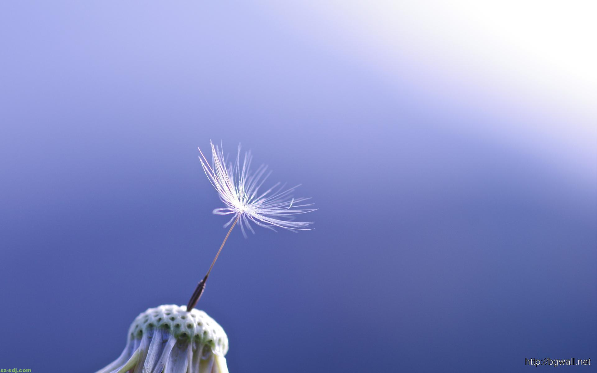 Alone-Dandelion-Flower-Wallpaper