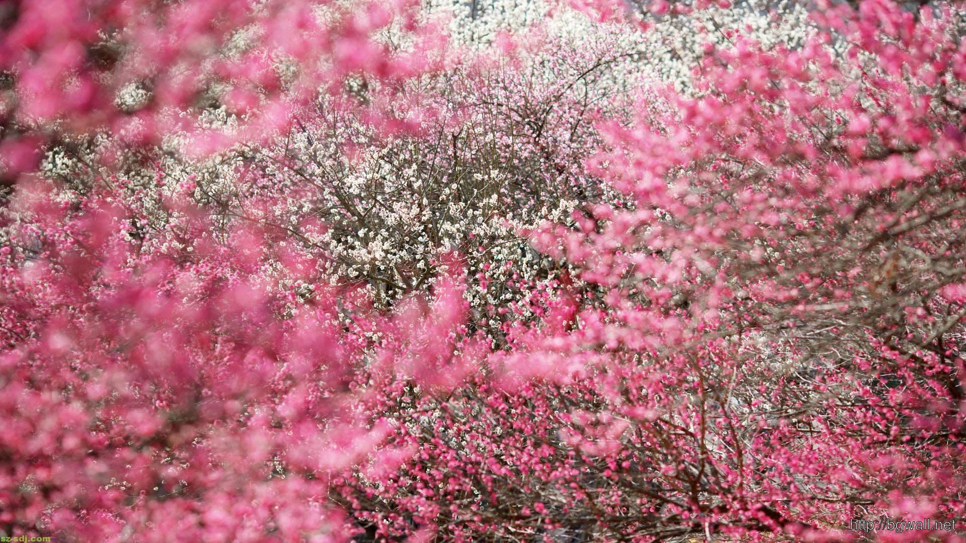 Awesome-Cherry-Blossom-Japanese-Flowers-Wallpaper