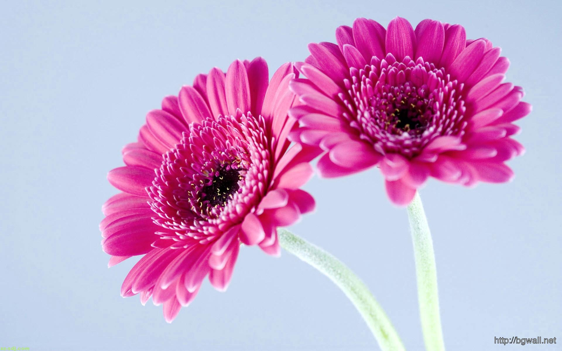 Beautiful-Gerbera-Flower-Wallpaper