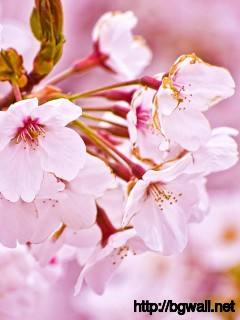 Beautiful-White-Cherry-Blossom-Flowers-Wallpaper