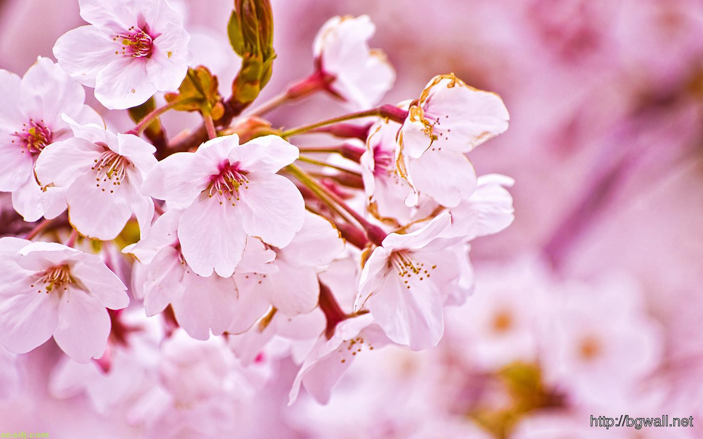Beautiful White Cherry Blossom Flowers Wallpaper
