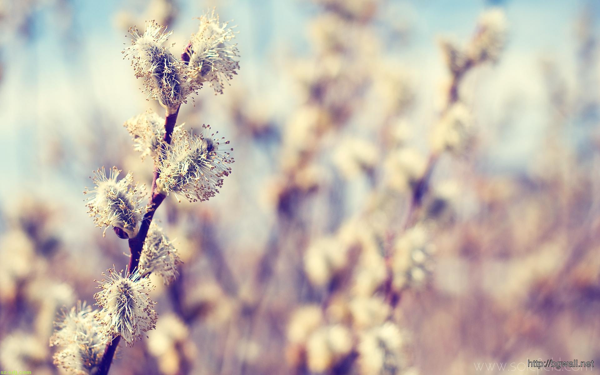 Beautifull Cotton Flower Wallpaper Macro Hd Background
