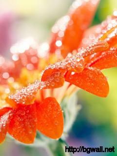 Best-Gerbera-Flower-Wallpaper-for-iPhone