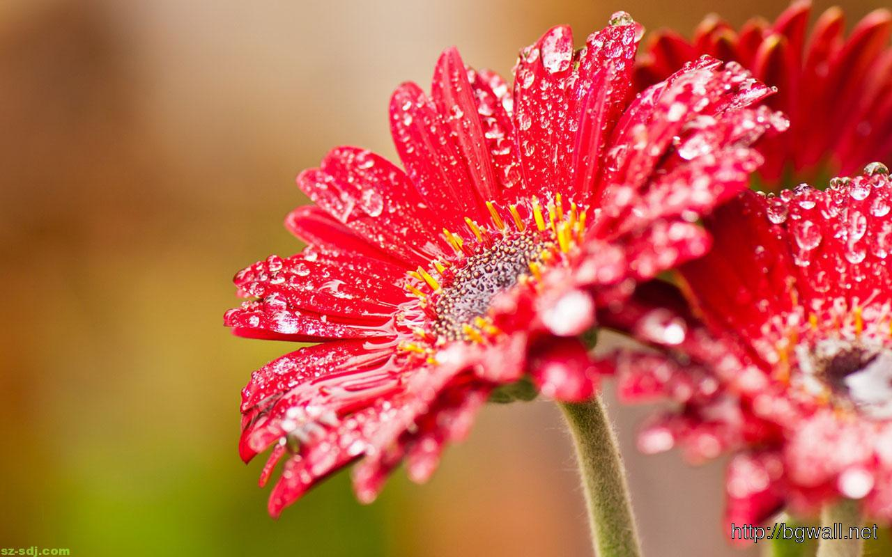 Best-Red-Macro-Flower-Wallpaper