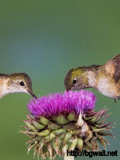 Birds-On-Flower-Wallpaper-Free