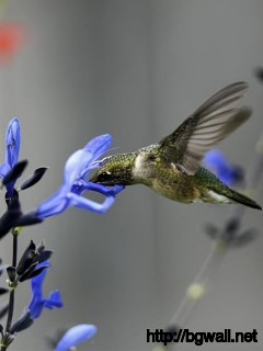 Blue-Flower-with-Hummingbird-Wallpaper