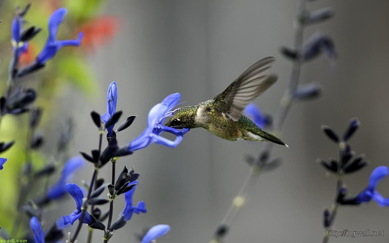 Blue-Flower-with-Hummingbird-Wallpaper