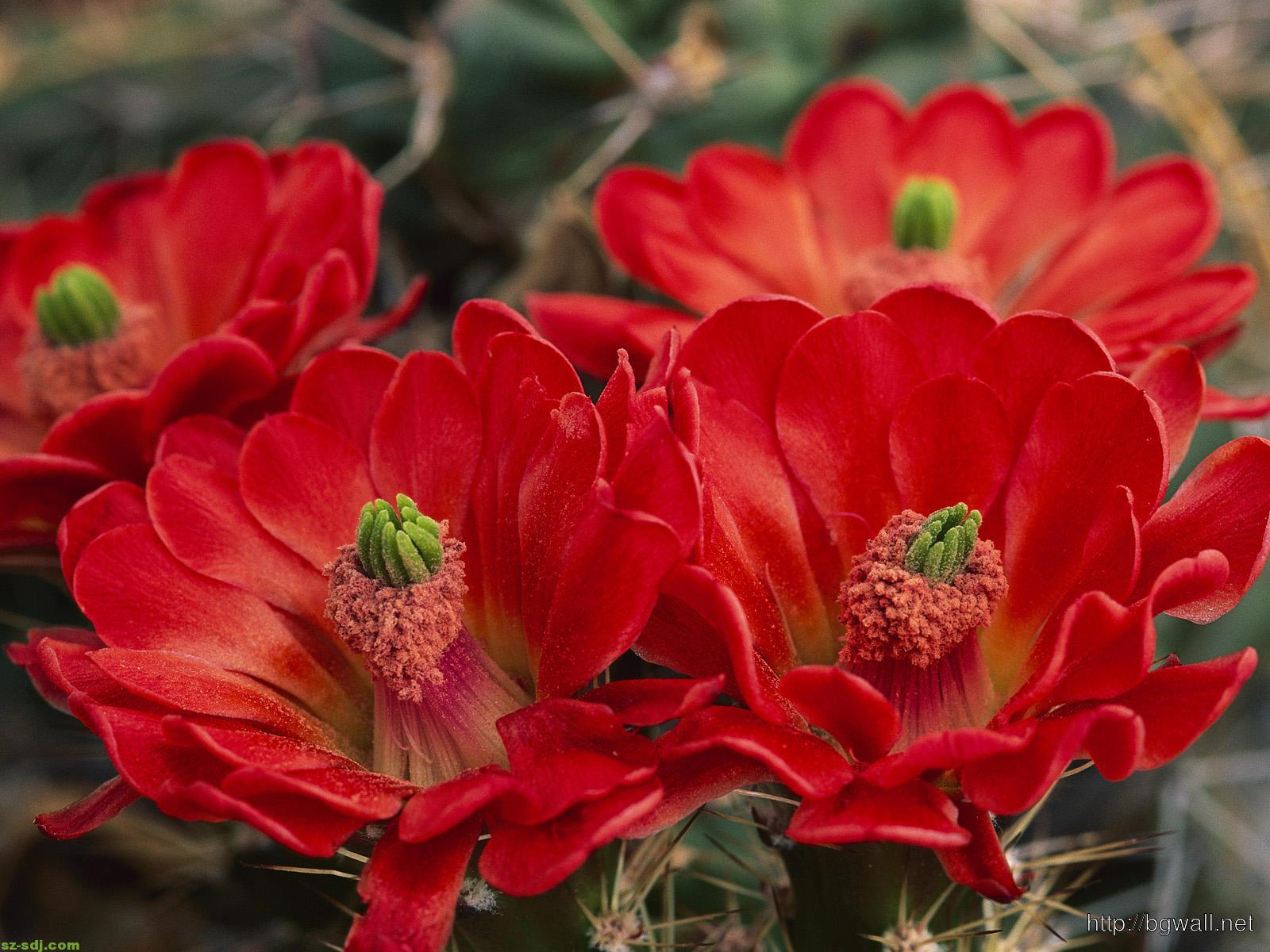 Cactus Red Flower Wallpaper Computer