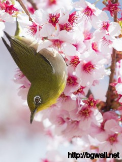 Cherry-Blossom-Flowers-And-Bird-Wallpaper