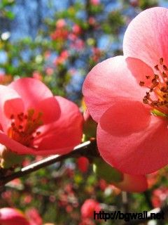 Cherry-Flowers-Red-Colors-Wallpaper