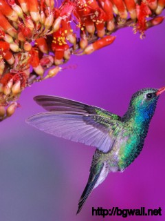 Colibri-with-Red-Flower-Wallpaper