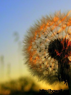 Dandelion-Flower-On-Sunset-Wallpaper-Widescreen
