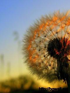 Dandelion-Flower-On-Sunset-Wallpaper-Widescreen