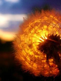 Dandelion-Flower-Sunset-Wallpaper
