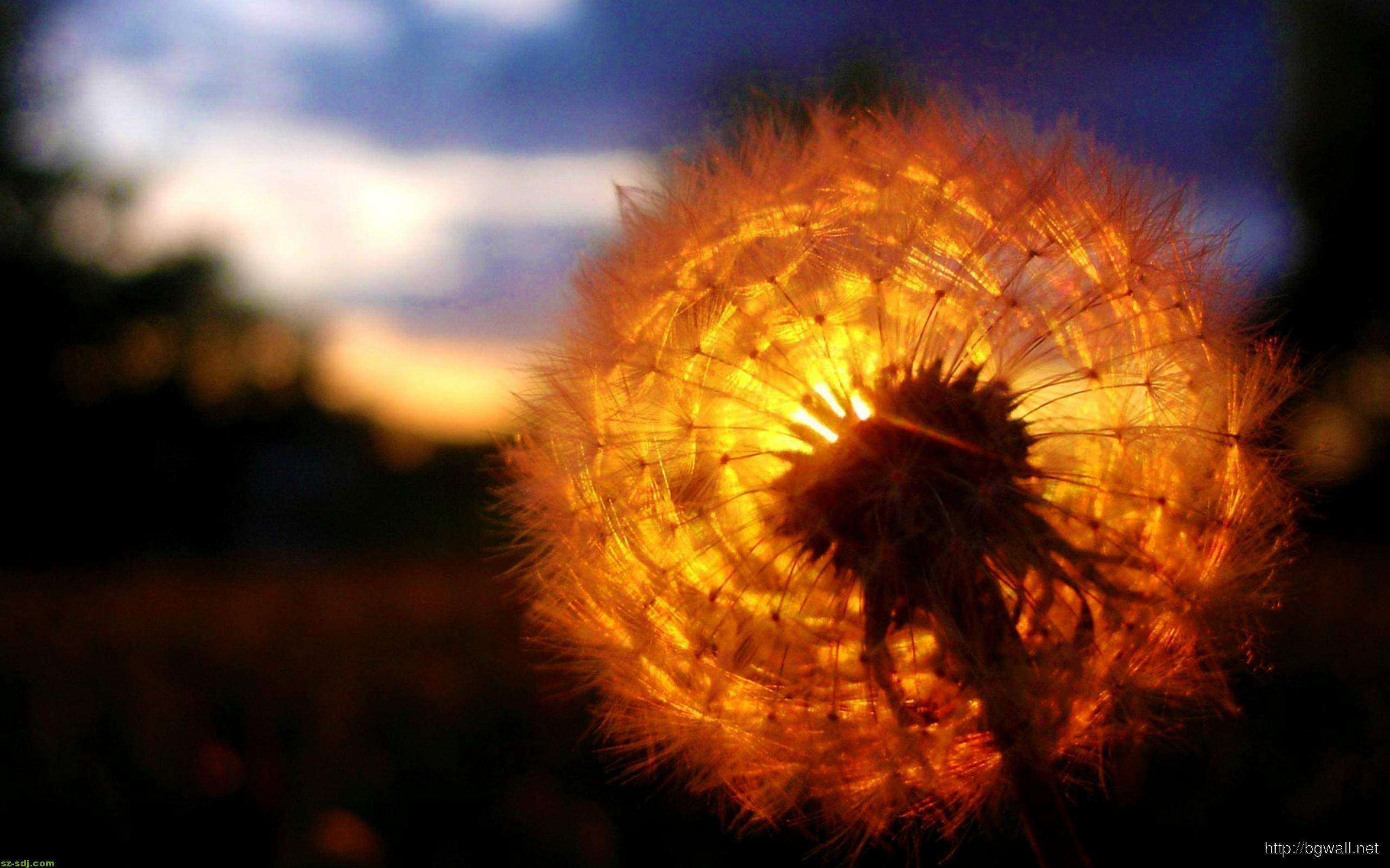 Dandelion Flower Sunset Wallpaper Background Wallpaper Hd